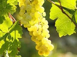 #Riesling Producers Mendocino Valley California