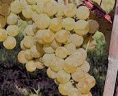 #Muscat Canelli Producers Washington Vineyards