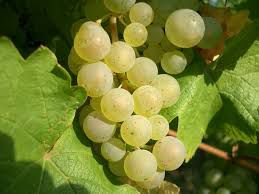 #Riesling Wine Producers Maryland Vineyards
