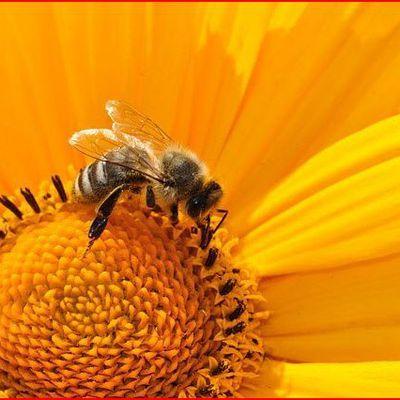 Abeilles: qui est le tueur? Entretien avec un apiculteur