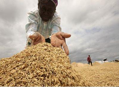 Fortes attentes pour la recherche sur le riz GM au Ghana