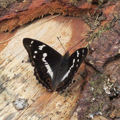 Papillons d'été