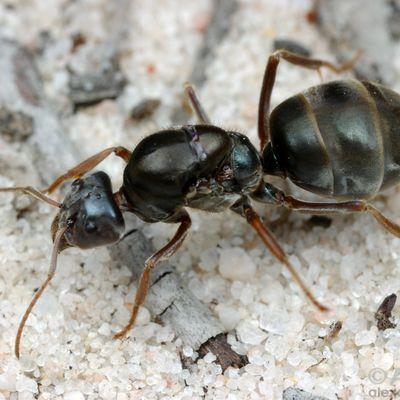 Une petite nouvelle en provenance d'Australie: Iridomyrmex purpureus