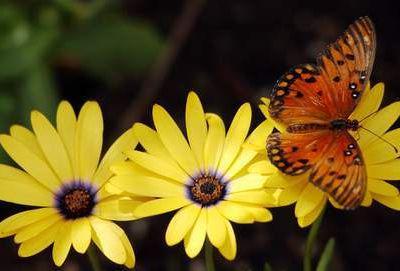 de la larve au papillon