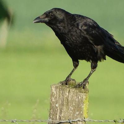 La Corneille noire (Corvus corone)