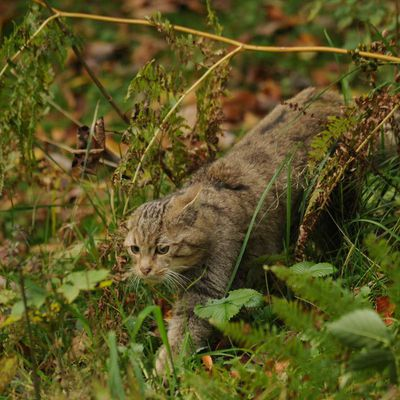 Chat Sauvage ou chat haret ?