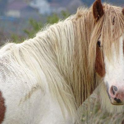 Recrudescence des actes de maltraitance sur des chevaux, les associations débordées