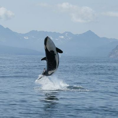 Killer whales in Kilcreggan