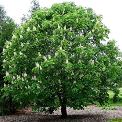The Horse Chestnut