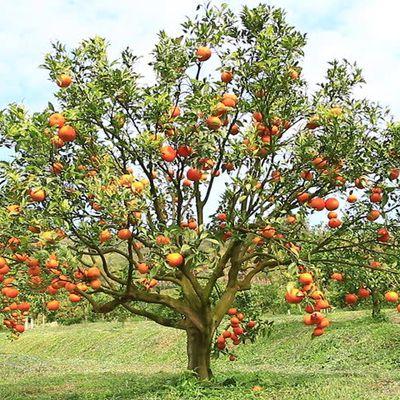 Oranges on an Apple Tree?