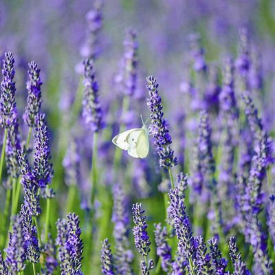 Lavender for Joy