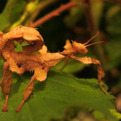 Fiche d'élevage du phasme scorpion
