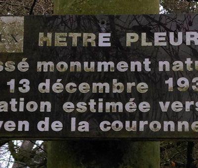 Bayeux - Le hêtre pleureur du jardin botanique