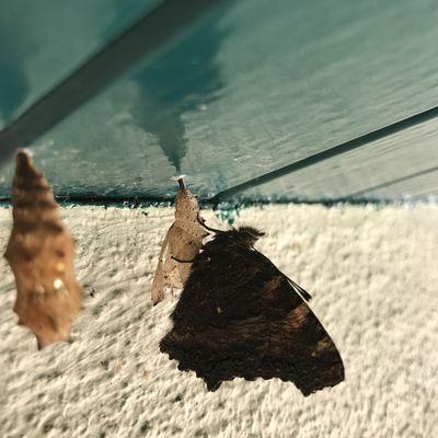 """La troisième métamorphose du papillon """"grande tortue"""""""