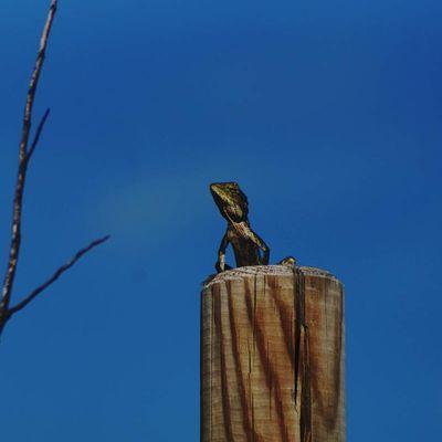 Un Agame versicolore au soleil