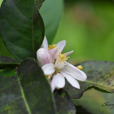Le Citron galet (Citrus aurantiifolia ((Christm.) Swingle, 1913)).