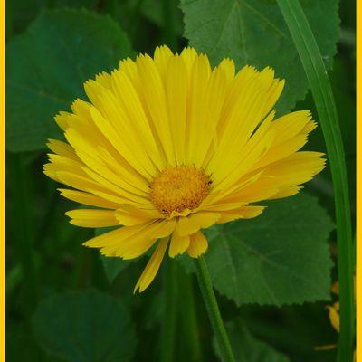 Photo fleur jaune