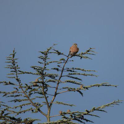Le faucon crecerellle