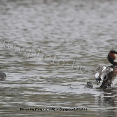 Great crested grebes and youths