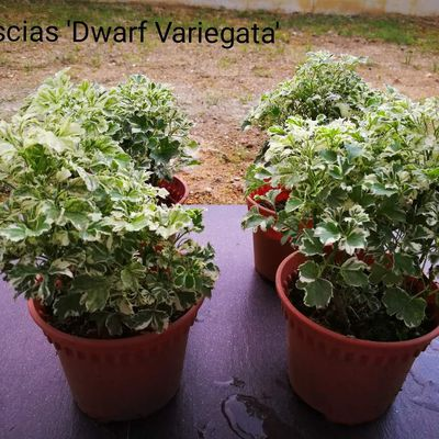 Dwarf Polyscias : beautiful shrub with minimum care foliage plant
