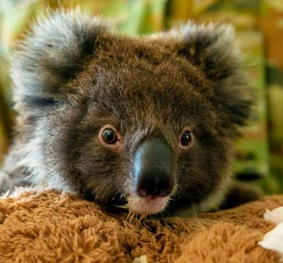 Relocating koalas to New Zealand is a nice idea, but it isn't a good one