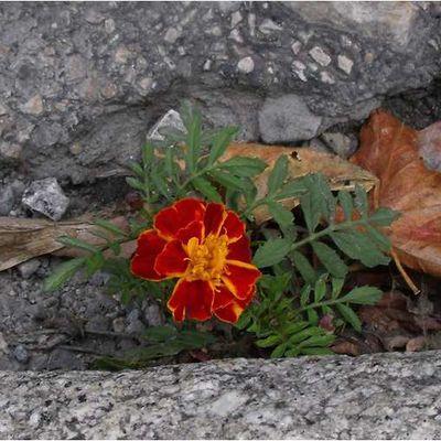Fleur de bitume