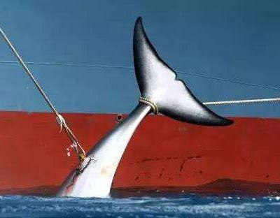 Japón y la caza de ballenas: una larga y polémica historia de muerte y mentiras.