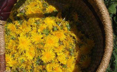 Pour une cueillette de plantes sauvages comestibles respectueuse et sans dangers !
